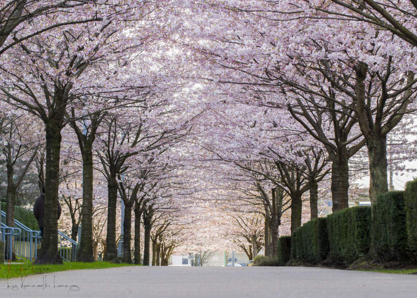 A Guide To Vancouver S Cherry Blossoms