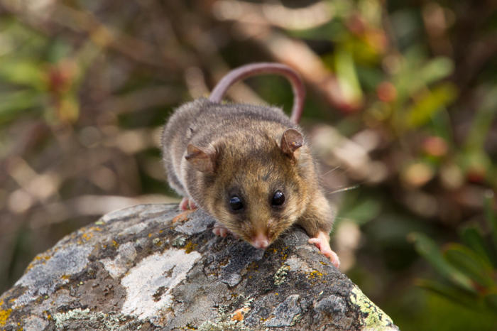 The mountain pygmy possum exists as three isolated populations. Picture Andrew Weeks.