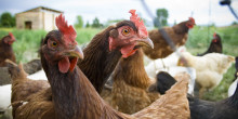 Marketing vs Animal Welfare Science: Who's Really Winning in the Free Range Egg Debate?