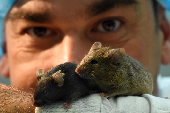Associate Professor Andrikopoulos with the mice. Picture: Paul Burston