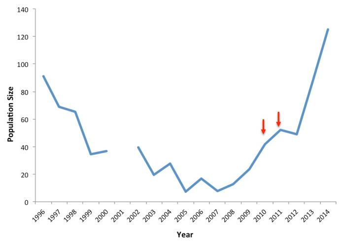 Mountain pygmy possum numbers at Mt Buller since 1996. The red arrows indicate the years when six males were moved from Mt Hotham to increase the genetic variation in the local Mt Buller population.