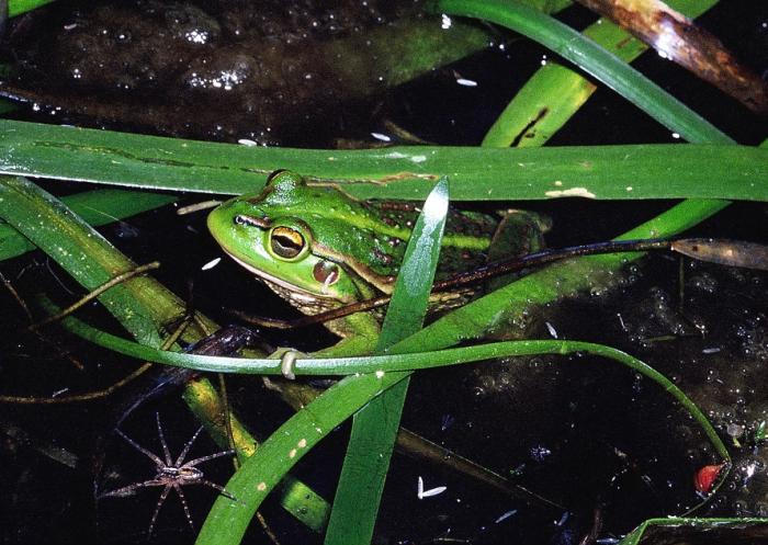 Habitat fragmentation is a big problem for the endangered growling grass frog. Picture: Geoff Heard