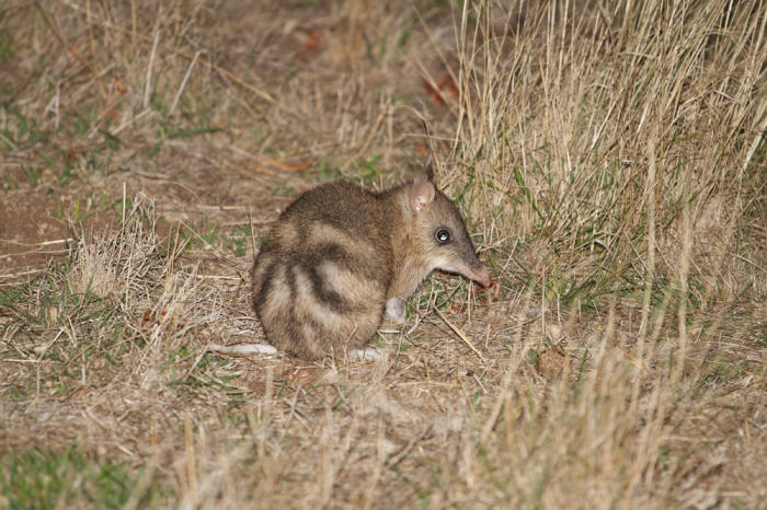 The eastern barred bandicoot could benefit from gene pool mixing. Picture: Andrew Weeks