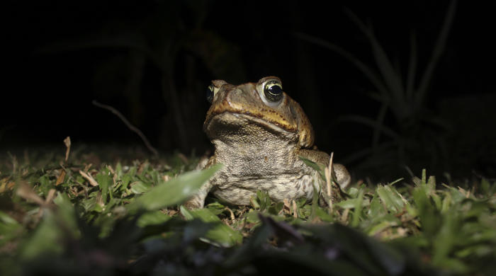 "The introduction of the cane toad was an ""unmitigated disaster"". (Image by Brian Gratwicke on flickr)"