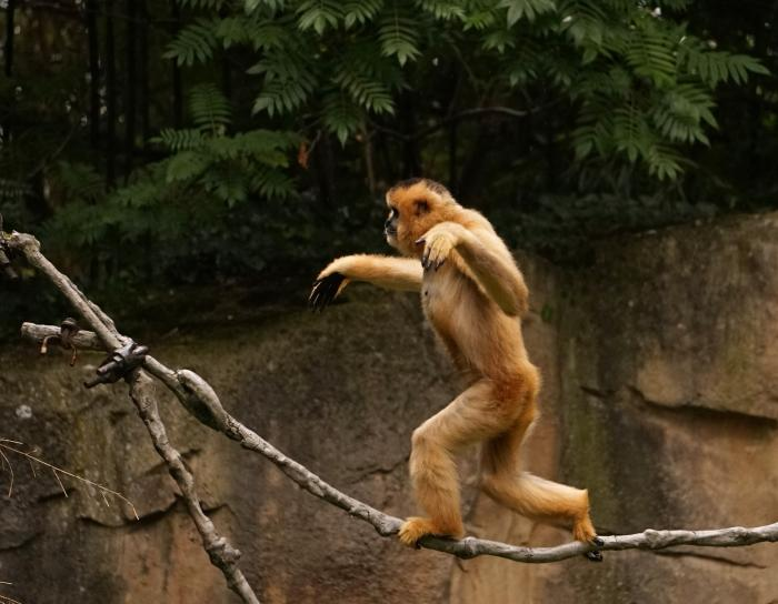 Gibbons use arms for balance