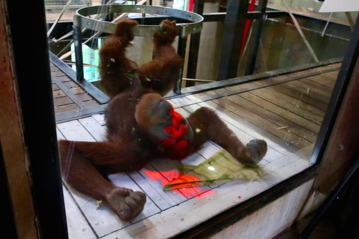 orangutan interacts with game system
