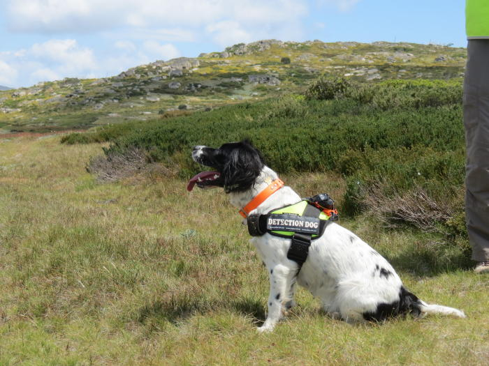 Missy the weed-detection dog. Picture: Cindy Hauser.