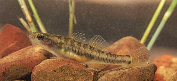 One of the three new eleotridae species. This one was found in the Roe River. Photo: Matt Le Feuvre