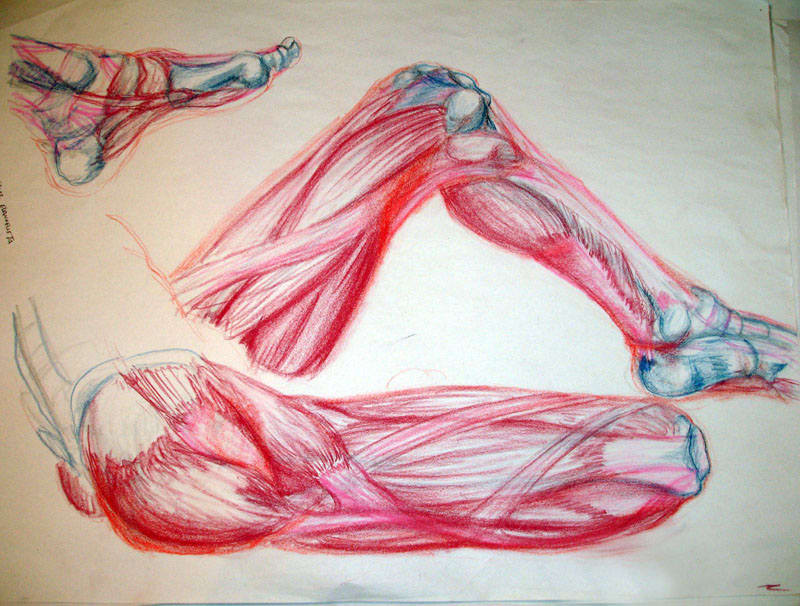 Anatomical Study- legs