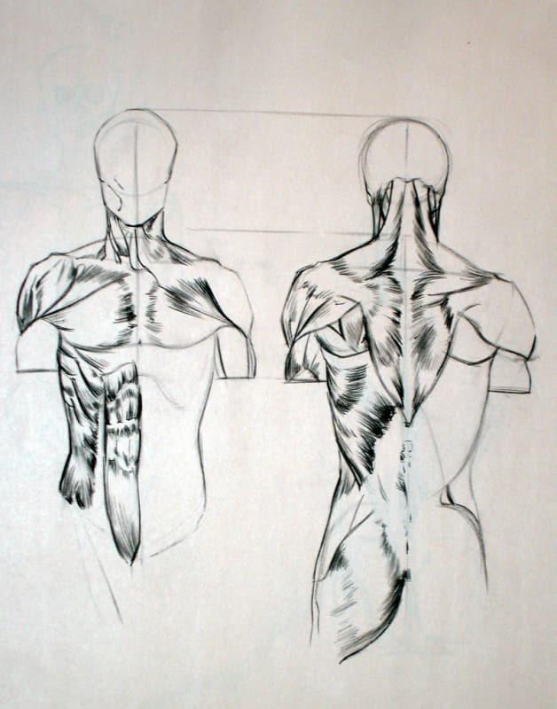 Anatomical Study -torso