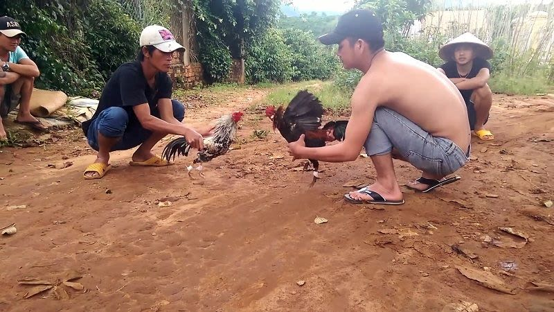 đá gà cựa sắt ở Việt Nam