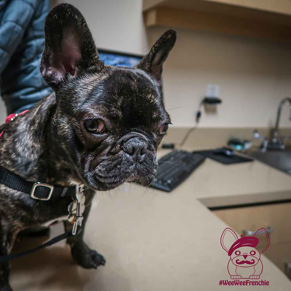 Canine Influenza - Is Vaccination Necessary?